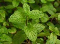 mint as a companion plant - apparently mint is a great companion plant for a lot of things!  Considering it's so invasive I'm pleasantly surprised!  (this site is all about companion planting with herbs)