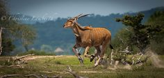 Eland doing the dash! Photo by Christine Lamberth Game Reserve, 100m, Tanzania, Giraffe, Wildlife, Horses, Photos, Animals, Animales