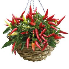 Outdoor hanging basket planting chillies