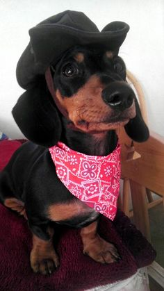 Get a long little doggie! #dachshund