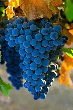 Sutter Home syrah grapes ripen on the vine near Artois.