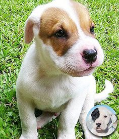The Bull Arab is an Australian dog purpose-bred primarily as a finder and lugger for feral pig hunting. Australian Dog Breeds, Australian Bulldog, Australian Shepherd, Bulldog Puppies, Cute Puppies, Cute Dogs, Dogs And Puppies, Blue Merle, Bull Arab Dog