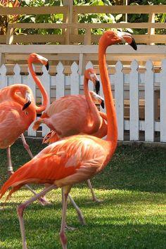 Flamingos   SGillard   Flickr