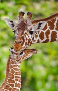 Giraffe mom and kid  (by Peter Hausner Hansen)
