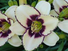 Day Lilly in bloom......