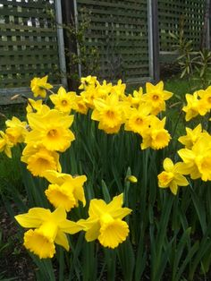 More daffodils. Photo by Peter Skinner.
