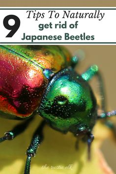 Japanese beetles are an incredibly obnoxious garden pest. They love to eat whatever you've got and can destroy a harvest in the short 8 week period they're out. However, with these 9 tips you can naturally rid your garden of these pests. Slugs In Garden, Garden Bugs, Garden Insects, Garden Pests, Organic Gardening, Gardening Tips, Container Gardening, Killing Weeds, Organic Insecticide