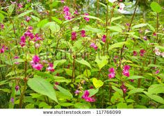 """""""If one was told of an annual which grew to around 6 feet, had flowers like pink coal scuttles, and smelt of 1950's hair oil, would the prospect be attractive? I like... Impatiens glandulifera... well enough... But it is superprolific, and I should not mention it without saying that it is much best introduced into a wild part of the garden..."""""""