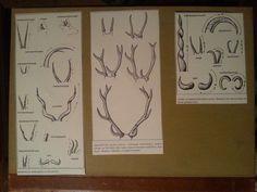 From animal books. Deer horn <3