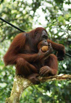 Orangutan (Pongo pygmaeus). Great ape.  Orangután (Pongo pygameus). Gran simio., actualmente sólo habita en las selvas de Borneo y Sumatra. Antes estaba clasificado como una sola especie.