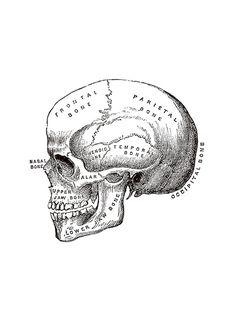 Antigua ilustración de un cráneo del siglo XIX.