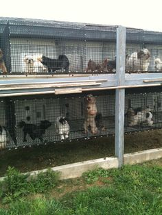 Indiana Amish Puppy Mill Pets Care Puppy Dogs Puppymills