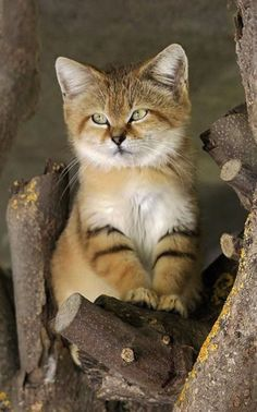 Sand Cat found in the deserts of North Africa and Southwest & Central Asia.