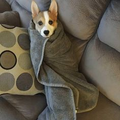 After Butters ran through his poop and trekked it everywhere we made him a corgurrito so we could clean the floorshttps://imgur.com/a/Aft07