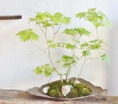 Bonsai, Green, Plants, Bonsai Trees, Bonsai Plants, Flora, Plant, String Garden