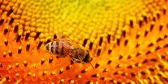 Bee in Flower...