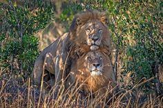 Gay Lions?  Ne tak docela