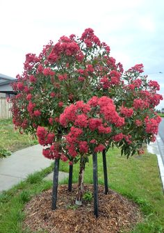 You are in the right place about Australian garden landscaping drought tolerant Here we offer you th Australian Native Garden, Australian Plants, Small Front Gardens, Street Trees, Native Australians, Garden Trees, Small Trees, Landscaping Plants, Flowering Trees
