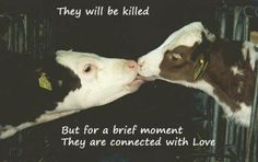 A cow and calf separated/to slaughter so humans can drink the milk. All animals feel and want love. If you love animals you would be vegan.