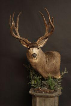 Whitetail Deer Pictures, Whitetail Deer Hunting, Taxidermy Decor, Taxidermy Display, Wildlife Photography, Animal Photography, Deer Species, Big Deer, Deer Mounts