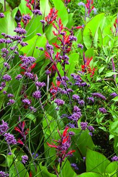 Pale-purple Verbena bonariensis with bold stands of red cannas