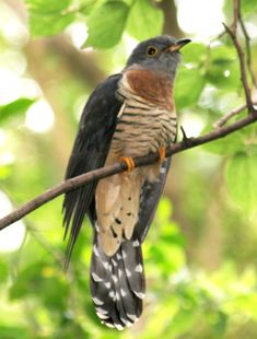 Piet-my-vrou / Red-chested_Cuckoo_(Cuculus_solitarius)_in_tree_crop. South Afrika, Most Beautiful Birds, Kinds Of Birds, Road Runner, Exotic Birds, Bird Species, Art Of Living, Bird Feathers, Animal Kingdom