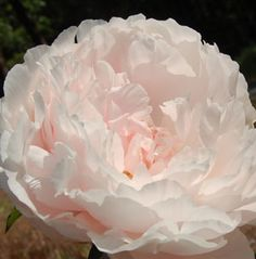 Solange peony | Peony Solange care instructions: follow the directions provided in our ...