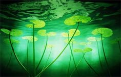 Photographer: © Chris Frazer Smith Title: Water Lilies  (I absolutely love this green)