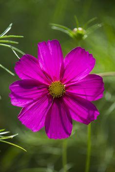 ~~Smile | pink Cosmos | by Hideaki Yoshida~~