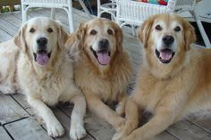 Happiness is living with 3 Goldens,,,, look at all those smiling faces! :-)