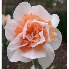 With alternating white and peach petals, the Daffodil Replete is sure to add a striking visual to your spring garden. Order these double narcissus bulbs today. Orange Flowers, White Flowers, Beautiful Flowers, Narcissus Bulbs, Bulbs And Seeds, Tree Seedlings, Garden Bulbs, Bulb Flowers, Photo Tree
