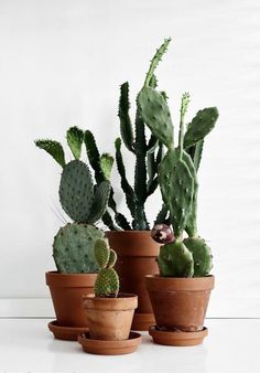 Room decoration using cactus is never ending. Starting from the real cactus, cactus displays, to the cactus made of stone. Methods, planting media, and pots used to plant cactus and important infor… Cacti And Succulents, Planting Succulents, Potted Plants, Indoor Plants, Planting Flowers, Indoor Cactus, Succulent Containers, Indoor Flowers, Patio Plants