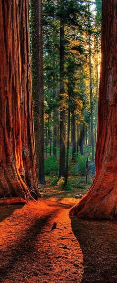 Sequoia Road Grant Grove of giant sequoias in Kings Canyon National Park, California, USA by Larry Gerbrandt. See more at http://glamshelf.com