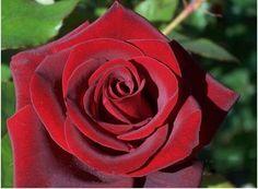7 Most Beautiful Black Roses