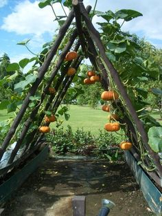 Pumpkins take a lot of space - clever idea and cool trellis made from tree limbs.