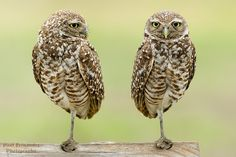 tiny-creatures:  Burrowing Owls Side by Side at Cape Coral, Florida by D200-PAUL on Flickr.