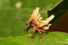 Weevil Plus One.... | Flickr - Photo Sharing!