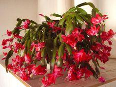 flor-de-maio-vermelha