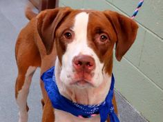 TO BE DESTROYED 10/18/14  Manhattan Center    My name is MELO. My Animal ID # is A1017331.  I am a neutered male tan and white boxer and pit bull mix. The shelter thinks I am about 2 YEARS    I came in the shelter as a OWNER SUR on 10/13/2014 from NY 10453, owner surrender reason stated was NO TIME.