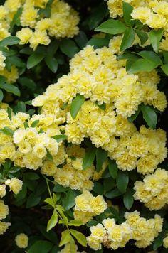 木香茨/木香薔薇(もっこうばら) Banksia rose (Rosa banksiae)