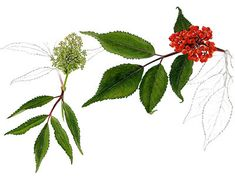 rødhyll – Store norske leksikon Plants, Plant, Planets