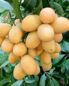Mangos from Dominican Republic Mango Fruit, Fruit And Veg, Fruits And Vegetables, Fresh Fruit, Fruit Bearing Trees, Fruit Benefits, Fruit Photography, Fruit Seeds, Beautiful Fruits