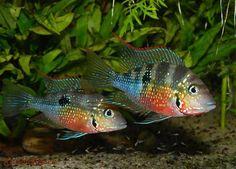 ≥ Koppel thorichthys ellioti - Vissen | Aquariumvissen - Marktplaats.nl