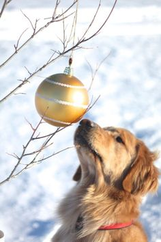 A Golden Christmas. What a sweet Golden Retriever puppy! Christmas Animals, Christmas Dog, Christmas Photos, Merry Christmas, Cute Puppies, Cute Dogs, Dogs And Puppies, Doggies, Dog Photos