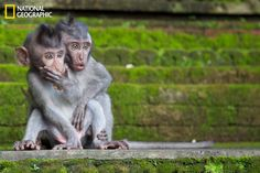 Two juvenile macaques look on as their mother chases away an assailant who was attempting to steal the babies' food. Taken at the Sacred Monkey Sanctuary, Ubud, Bali, Indonesia by Chris Norfolk.