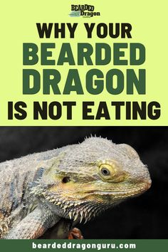 There may be many reasons why your bearded dragon is not eating, sometimes it could be nothing of concern but its important to find out nonetheless. Bearded Dragon Heat Lamp, Bearded Dragon Substrate, Bearded Dragon Food List, Bearded Dragon Care Sheet, Bearded Dragon Habitat, Crazy Cat Lady, Crazy Cats, Reptile Habitat, Reptile Cage