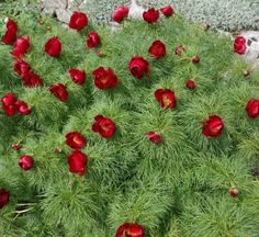 Peony Tenuifolia - Foliage is identical to that of the double fern leaf peony except for masses of single red blooms. Garden Art, Garden Plants, Garden Ideas, Paeonia Tenuifolia, Zone 5, Garden Living, Image Types, Ferns, Perennials