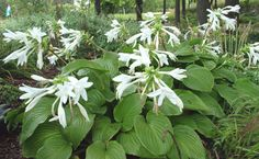 """Hosta plantaginea. Clump Size: (L) 48""""x25"""". Leaf Size: 12""""x11"""". Smooth and shiny, medium green leaves with prominent veins, cascading to form a nice mound. Very fragrant, 6"""" long, pure white flowers bloom in August.Needs a fair amount of heat and sunlight to bloom. Plant the crowns about 2"""" below the soil and apply a winter mulch. Keep them well watered in the summer. Part sun to full shade. Humus-rich, moist but well-drained soil. Zones: 2 - 9"""