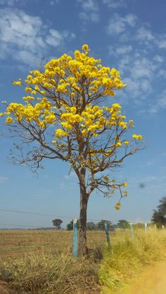 Ipê Amarelo Amazing Street Art, Nature Tree, Tree Forest, Flowering Trees, Fine Art, Beautiful Paintings, Bonsai, Painting & Drawing, Places To Travel