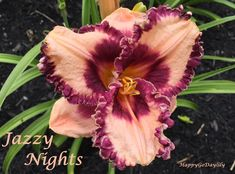 Jazzy Nights Daylily photo by HappyGoDaylily
